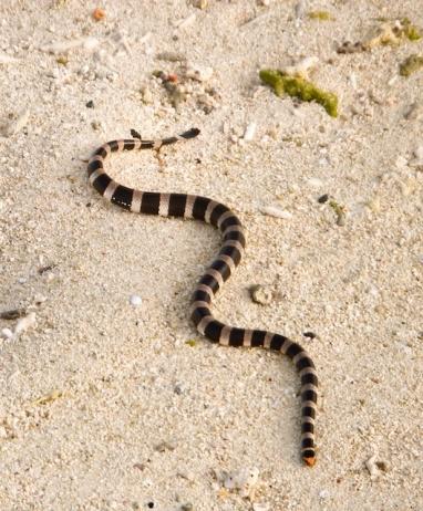 2020-01-01 Amedee Island sea snake v2